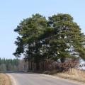 Borovice lesní, odhadované stáří je asi 300 let